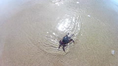 Pacific Ocean crab showing open claws.stock Stock Footage