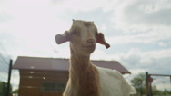 CLOSE UP: Curious adorable little kid goat snooping around Stock Footage