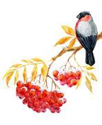 Bullfinch and ashberry Stock Illustration