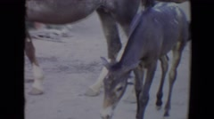 1967: mare with baby greet visitors at ranch out west in the summer tourist Stock Footage