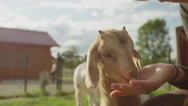 CLOSE UP: Smiling loving girl feeding an apple to adorable little kid goat Stock Footage