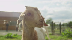 CLOSE UP: Adorable greedy little kid goat licking herself, asking for more food Stock Footage
