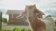 CLOSE UP: Portrait of adorable little kid goat enjoying sunny summer day Stock Footage