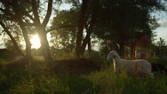 SLOW MOTION: Herd of happy adorable sheeps running in tall grass at sunrise Stock Footage