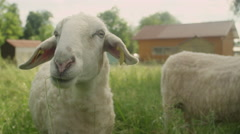 CLOSE UP: Portrait of happy white sheep eating grass on vast pasture field Stock Footage