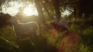 SLOW MOTION: Herd of happy adorable sheeps running in tall grass at sunset Stock Footage