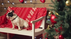 Frenxh bulldogs sitting on bench under fir-tree Stock Footage