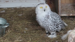Snowy owl with yellow eyes Stock Footage