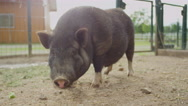 CLOSE UP: Adorable small and fat black piggy chewing food on big animal ranch Stock Footage
