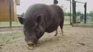 CLOSE UP: Adorable big and fat black piggy chewing apple on big animal ranch Stock Footage