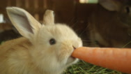 CLOSE UP: Adorable fluffy little light brown bunny eating big fresh carrot Stock Footage