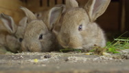 CLOSE UP: Curious fluffy little brown bunnies snooping around, smelling food Stock Footage