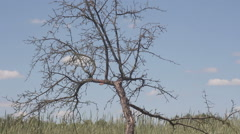 Bare dry tree against the blue sky and fields of rye Stock Footage