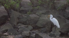 Egret eating fish by ocean Stock Footage