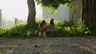 SLOW MOTION: Beautiful stunning chicken mother protecting her fluffy offspring Stock Footage