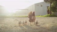 SLOW MOTION: Beautiful stunning mother chicken protecting her bird family Stock Footage