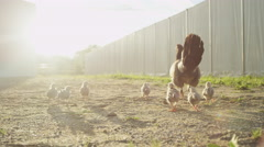 CLOSE UP: Adorable baby chickens on backyard following mother's steps Stock Footage