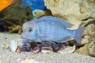 Blue fish swim in the Aquarium Stock Photos