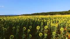 Aerial shot of a field with sunflowers. Dramatic cloudscape on sunset Stock Footage