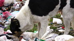 Dolly shot of black dog digging in the garbage, searching for food Stock Footage
