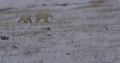 Polar bear cub sticks close to mum walking through snowy grass Stock Footage