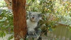 Australian Koala Bear Poses for Camera Stock Footage