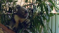 Australian Koala Bear Sitting in Tree Eating  Eucalyptus Leaf Stock Footage