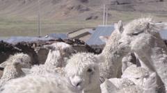 Herd of llama in village Stock Footage