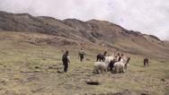 Men herding llamas in field Stock Footage