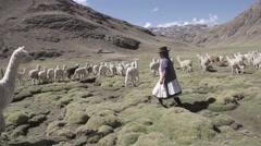 Woman herding llamas in field Stock Footage