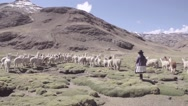 Woman herding llamas in green field Stock Footage