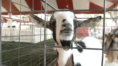 Goat Call Close Up Stock Footage