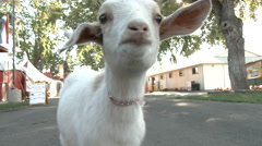 Little White Goat On The Loose Stock Footage
