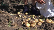 Dolly shot of an elderly woman collecting fresh potatoes in the field Stock Footage