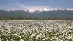Mountain Aragats with daisy field in front, Armenia Stock Footage