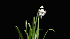 Flower bulb timelapse of Snow drop flowers growing and blooming Stock Footage