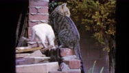 1963: cats are jumping up the wall CALIFORNIA Stock Footage
