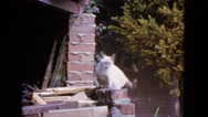 1963: cat balancing on wall CALIFORNIA Stock Footage
