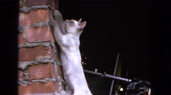 1963: cat is climbing up the wall CALIFORNIA Stock Footage