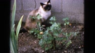 1963: cat is sitting in the gardens CALIFORNIA Stock Footage