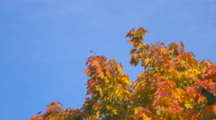 Beautiful multi-colored leaves on a tree. Gold foliage on a background of blu Arkistovideo