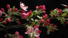 Timelapse of Red Crab-apple flower blossom blooming dolly shot Arkistovideo