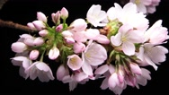 Flower timelapse Crab-apple flower blossom blooming on branch Stock Footage