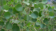 Detail of Aspen leaves rippling in the wind. Stock Footage