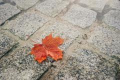 Fallen red maple leaf on pavement Stock Photos