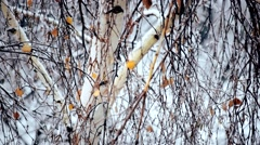 Snow falling on birch tree with a few leaves Stock Footage