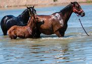 Horses in water Stock Photos