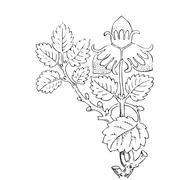 Hand drawn illustration of strawberry bushes vector. Branch with buds Stock Illustration