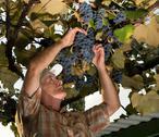 Senior farmer  inspecting the fresh grape crop Stock Photos