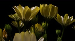 Yellow Flower time lapse blossom bud blooming White Lightning flowers Stock Footage